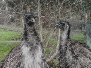 Just two emus